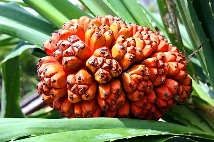 original_Pandanus-tectorius-fruit--riped-.JPG